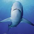 居氏鼬鲨3